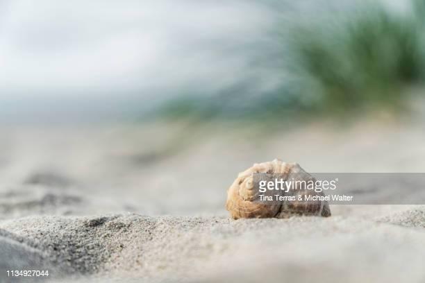 seashell on the beach under dune grass. - tina terras michael walter stock-fotos und bilder
