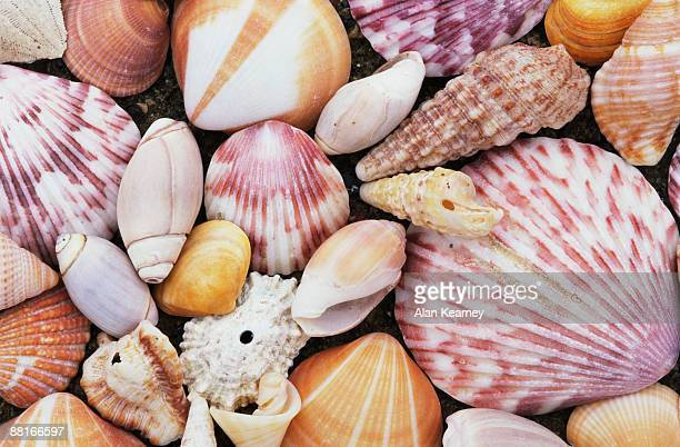 seashells - limpet stock pictures, royalty-free photos & images