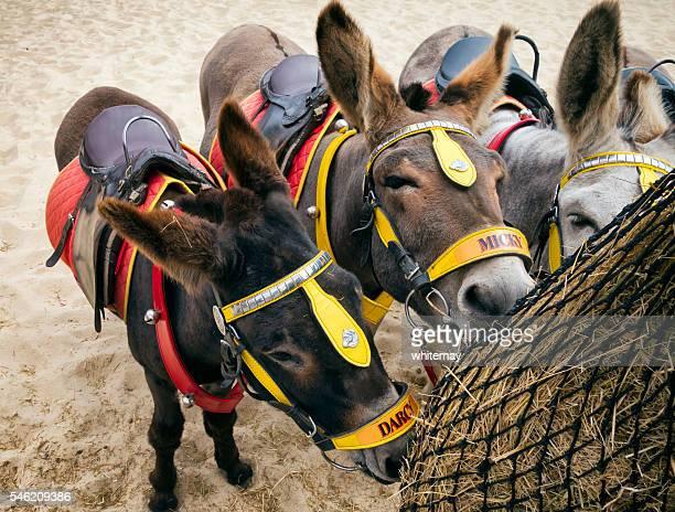 Seaside donkeys feeding