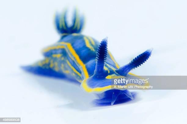 Seaslug on a white background