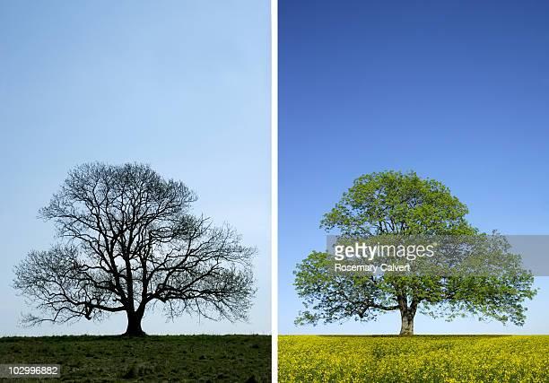 Seasonal comparative shot of ash tree.