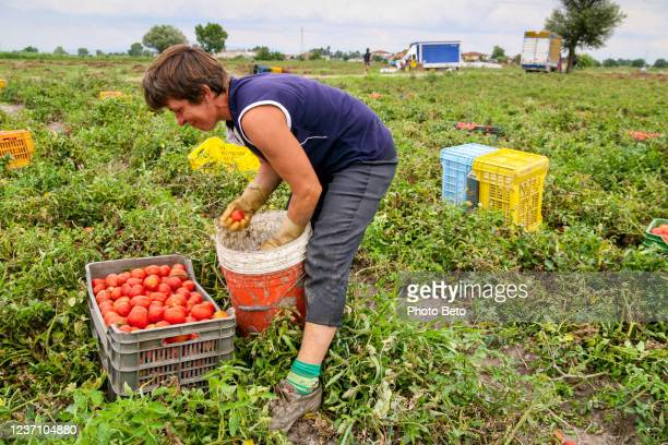 a seasonal farm worker in a camp of tomatoes in campania southern italy - migrant worker stock pictures, royalty-free photos & images