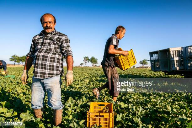 seasonal farm workers in a melons field in puglia in southern italy - migrant worker stock pictures, royalty-free photos & images