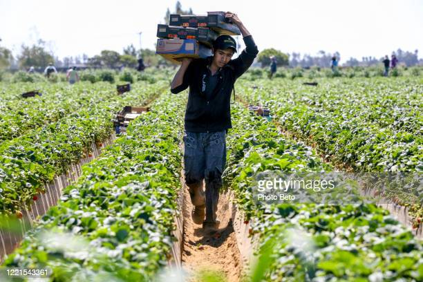 a seasonal farmer works hard in the sun in a strawberry field in mexico - agricultural occupation stock pictures, royalty-free photos & images