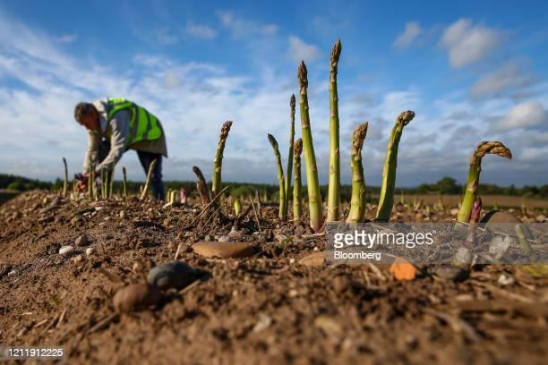 Seasonal foreign farm worker harvests asparagus at Woodhouse Farm, a unit of Sandfield Farms Ltd., in Hurcott, U.K., on Tuesday, May 5, 2020. Fresh...