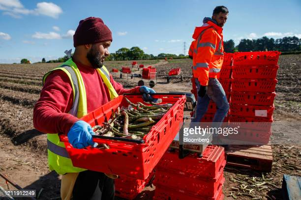 Seasonal foreign farm worker lifts a crate of freshly harvested asparagus onto a scale at Woodhouse Farm, a unit of Sandfield Farms Ltd., in Hurcott,...