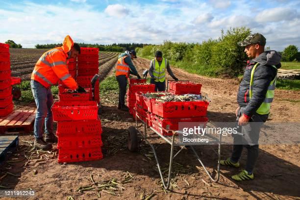Seasonal foreign farm workers harvest asparagus at Woodhouse Farm, a unit of Sandfield Farms Ltd., in Hurcott, U.K., on Tuesday, May 5, 2020. Fresh...