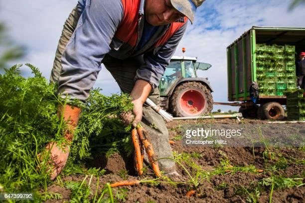 Seasonal migrant workers harvest carrots from farmland.