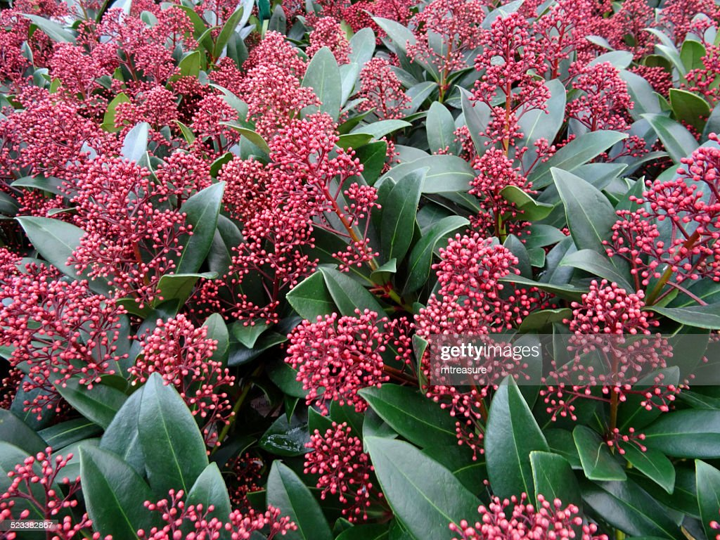 Seasonal red skimmia flowers, winter, evergreen shrub (Skimmia japonica 'Rubella')