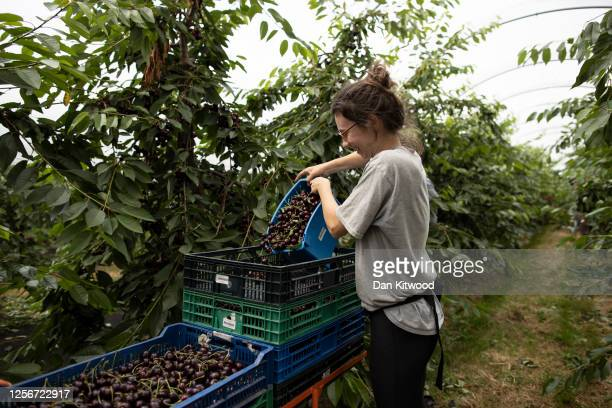 Seasonal worker Alice Sunderland empties Cherries into a tray during the annual harvest at New House Farm on July 17, 2020 in Canterbury, England....