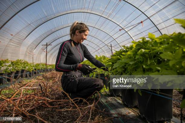 Seasonal worker Anna Maria from Romania, tends to raspberries inside a Polytunnel ahead of the fruit picking season at a farm on March 31, 2020 in...