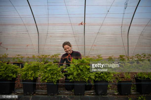 Seasonal worker Anna Maria from Romania tends to raspberries inside a Polytunnel ahead of the fruit picking season at a farm on March 31 2020 in...