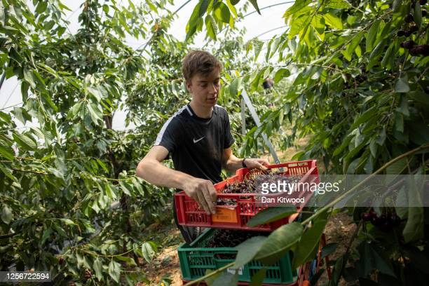 Seasonal worker Callum Pearman, a student from Durham University studying Geo Physics picks cherries during the annual harvest at New House Farm on...