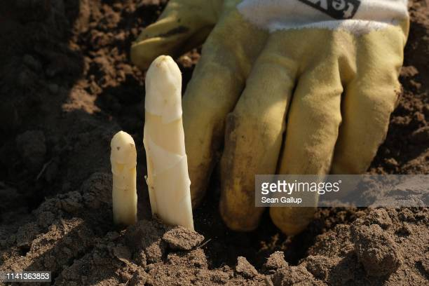 A seasonal worker from Poland harvests white asparagus at an asparagus field on April 08 2019 near Beelitz Germany The Beelitz region southwest of...