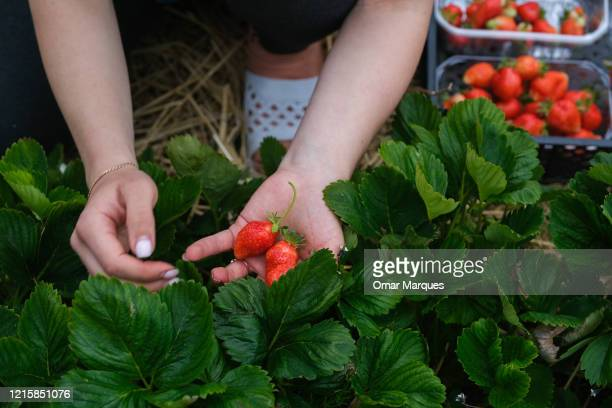 A seasonal worker from Ukraine harvests strawberries in a field during the ongoing coronavirus crisis on May 27 2020 in Zaluski Poland Farmers across...