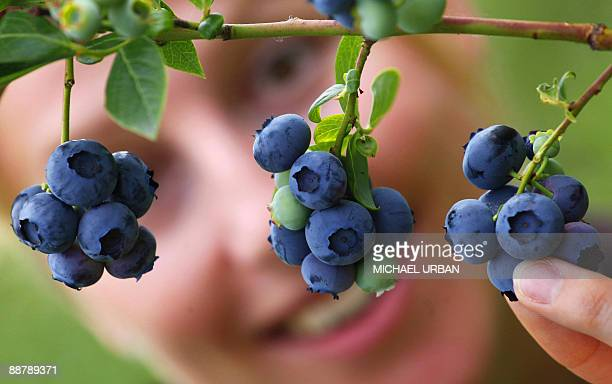 A seasonal worker picks blueberries on June 28 2009 at a farm in Klaistow eastern Germany where blueberries are cultivated on an area of 55 hectares...