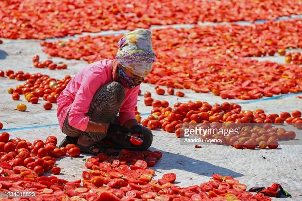 Seasonal worker processes tomatoes for drying in the sun after a harvest in Torbali district of Izmir, Turkey on July 17, 2021. Tomatoes, collected...