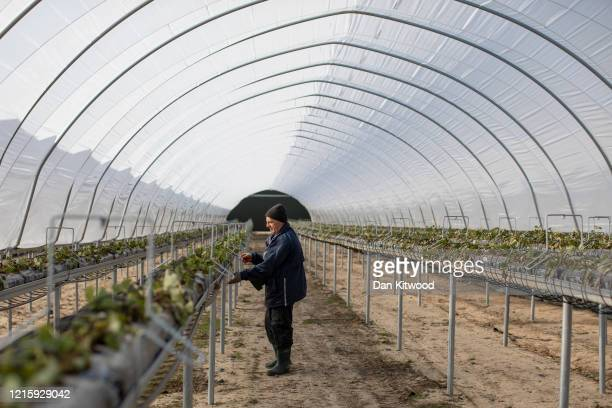 A seasonal worker tends to raspberries inside a Polytunnel ahead of the fruit picking season at a farm on March 31 2020 in Rochester Kent Concerns...