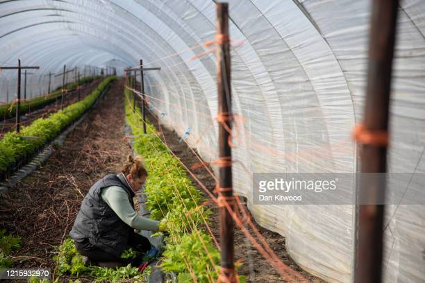 Seasonal worker tends to raspberries inside a Polytunnel ahead of the fruit picking season at a farm on March 31, 2020 in Rochester, Kent. Concerns...