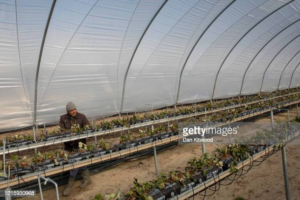 A seasonal worker tends to strawberries inside a Polytunnel ahead of the fruit picking season at a farm on March 31 2020 in Rochester Kent Concerns...
