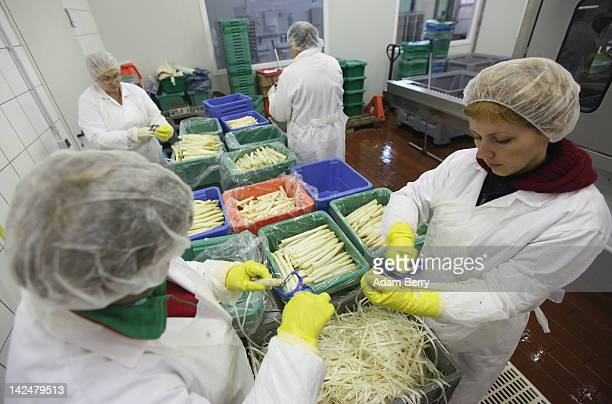 Seasonal workers from Poland use peelers to remove the outer layer of asparagus at the Buschmann & Winkelmann farm on April 5, 2012 in Klaistow,...