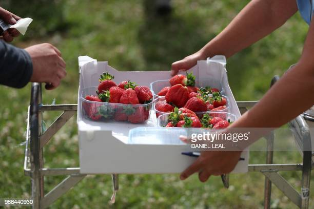 Seasonal workers from Romania pick strawberries at BR Brooks & Son farm in Faversham, south east England on June 29, 2018. - After weeks of...