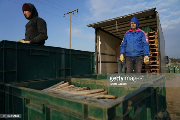 Seasonal workers from Romania, whose employer brought them to Germany before border restrictions set in, load white asparagus onto a truck during...