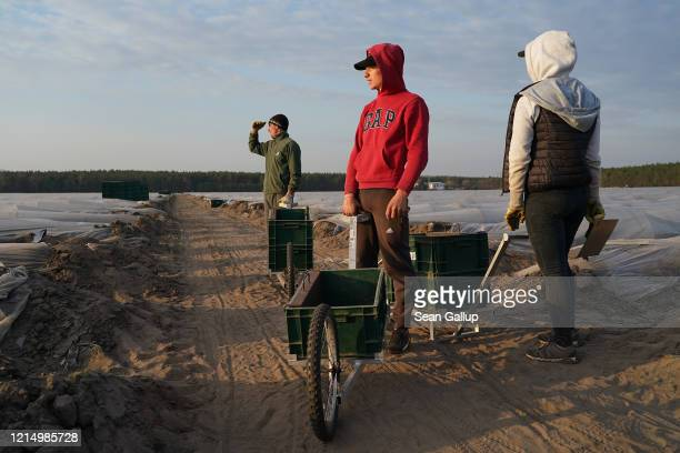 Seasonal workers from Romania, whose employer brought them to Germany before border restrictions set in, use push carts while harvesting white...