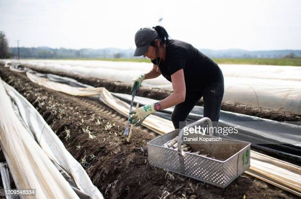 Seasonal workers harvest white asparagus at a farm during the coronavirus crisis on April 9 2020 near Tettnang Germany German farmers usually rely on...