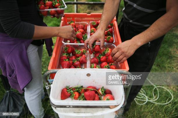 Seasonal workers picking up strawberries at BR Brooks Son farm in Kent east England on Jun 29 2018 / DANIEL LEALOLIVAS