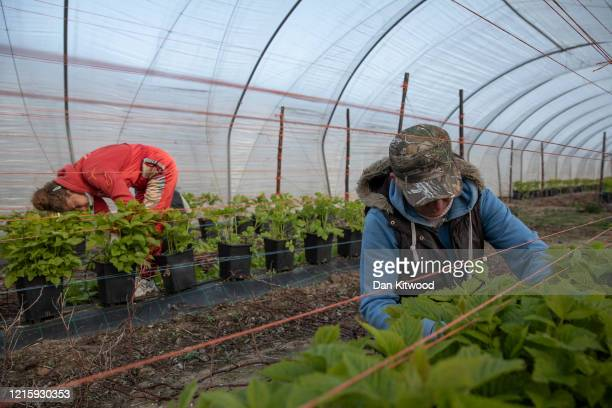 Seasonal workers tend to raspberries inside a Polytunnel ahead of the fruit picking season at a farm on March 31, 2020 in Rochester, Kent. Concerns...