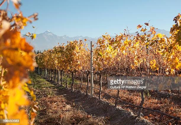 Seasonally colored vineyard