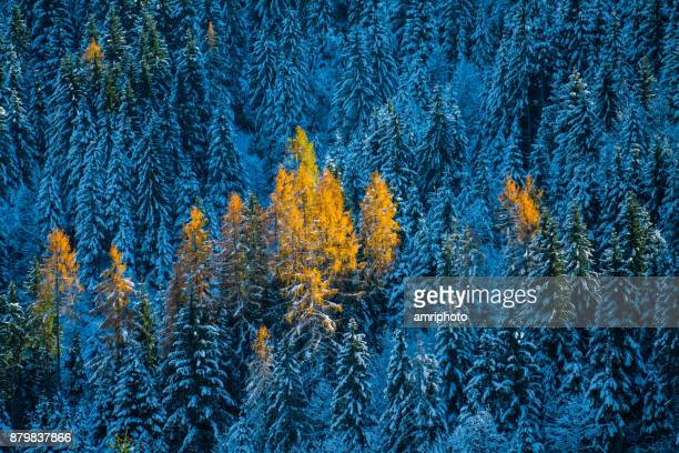 4 seasons - last autumn trees in winter forest - larch tree stock pictures, royalty-free photos & images