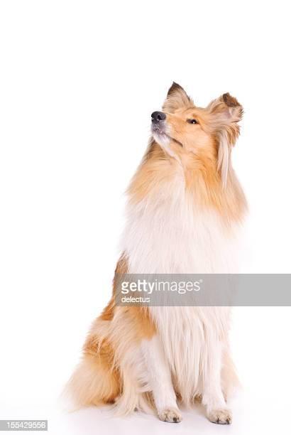 Collie perro sentado