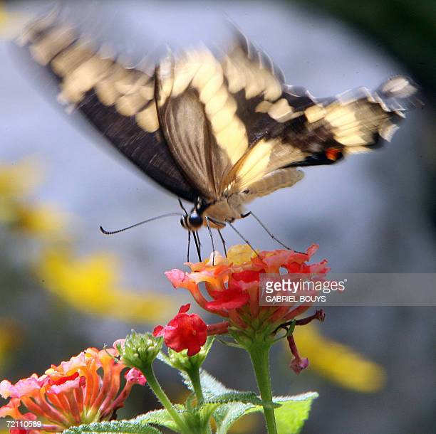 A butterfly lands on a flower in a garden at the zoo in Seattle Washington 01 October 2006 The zoo established in 1899 claims 1098 specimens...
