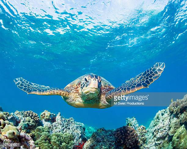 seaturtlecoral - green turtle stock pictures, royalty-free photos & images