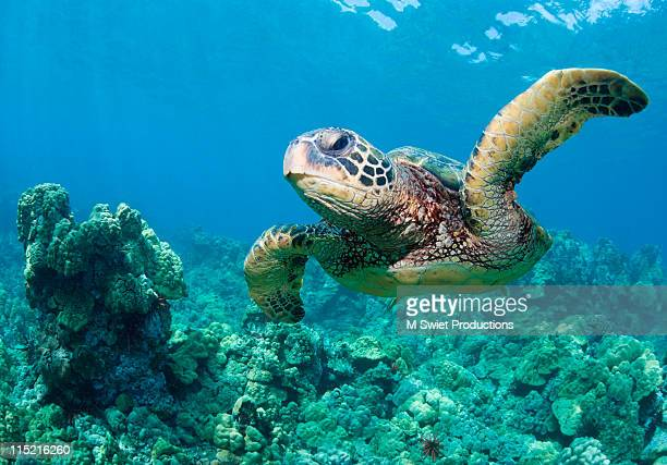 sea-turtle-hawaii-reef - green turtle stock pictures, royalty-free photos & images