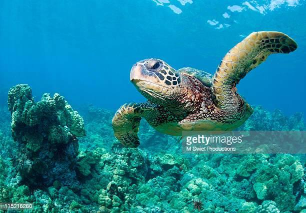 Sea-turtle-hawaii-reef
