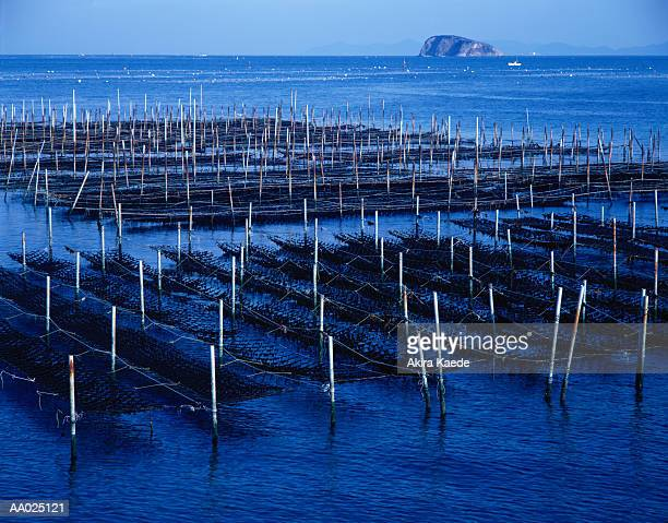 Seaweed Cultivation Off Japan