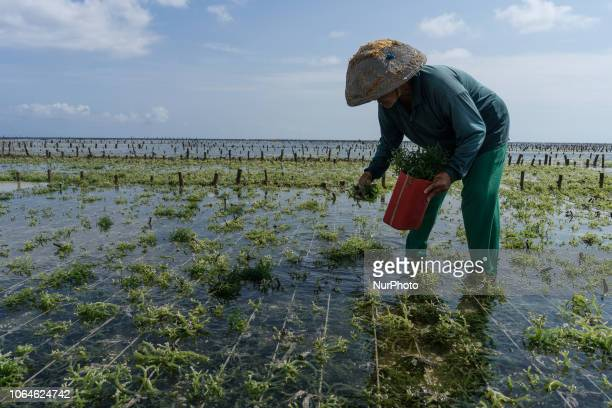 30 Top Seaweed Farm Pictures, Photos and Images - Getty Images