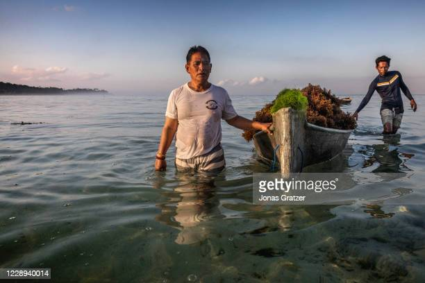 Seaweed farmer with a boat full of red seaweed, also known as macroalgae, in Lembongan Bay, Indonesia. In the race for a sustainable alternative to...