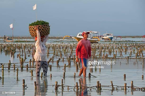 Seaweed farmers on Nusa Lembongan, Bali