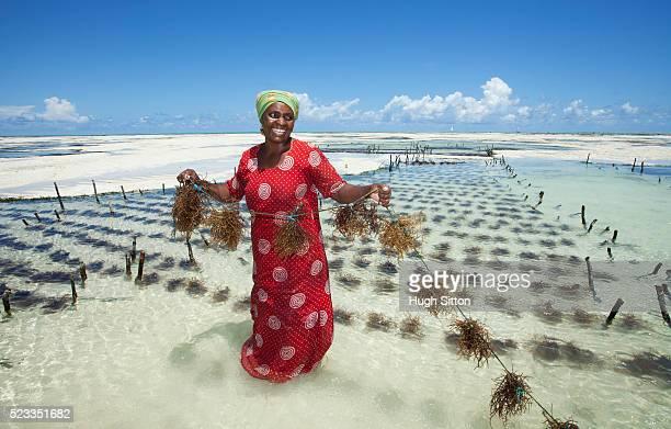 seaweed farming in zanzibar. tanzania. africa - zanzibar stock pictures, royalty-free photos & images
