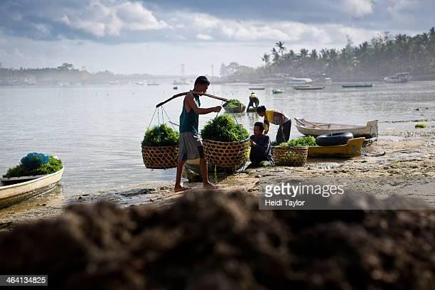 CONTENT] seaweed farming on Lembongan Indonesia near Bali