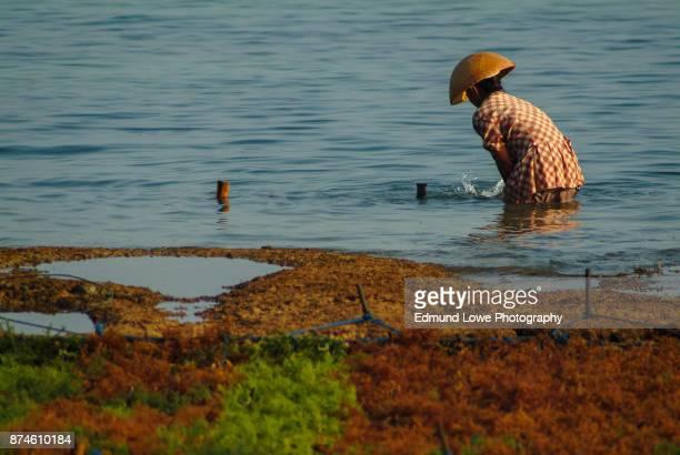 Seaweed Farming on the Island of Nusa Lembongan, Bali.