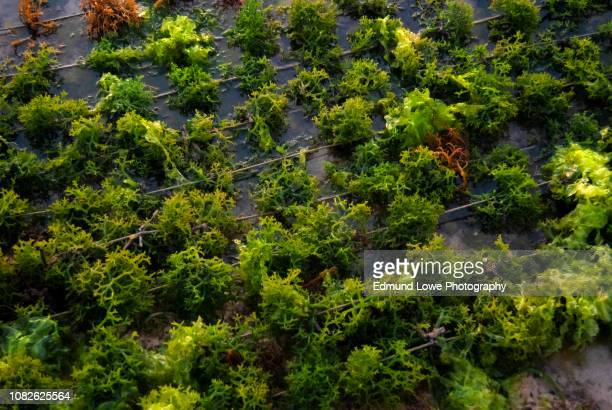 seaweed growing on ropes at low tide. - seaweed stock pictures, royalty-free photos & images