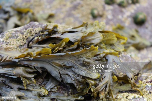 seaweed - seaweed stock pictures, royalty-free photos & images