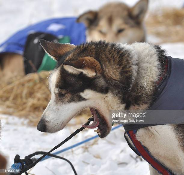 Sebastian Schnuelle's dog Austin yawns as the team prepares to leave the checkpoint in Nikolai Alaska on Tuesday March 9 during the 2010 Iditarod...