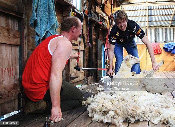 Sebastian Vettel of Germany and Red Bull Racing tries his hand at sheep shearing as he visits a local farm during previews to the Australian Formula...