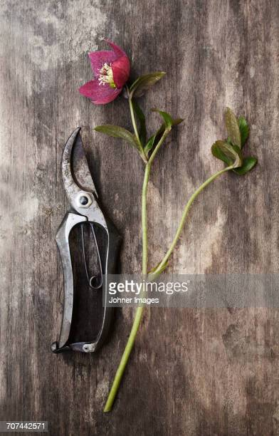 Secateurs and flower on wooden background
